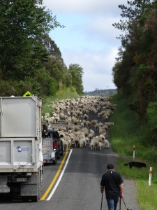 moutons au Cape Reinga